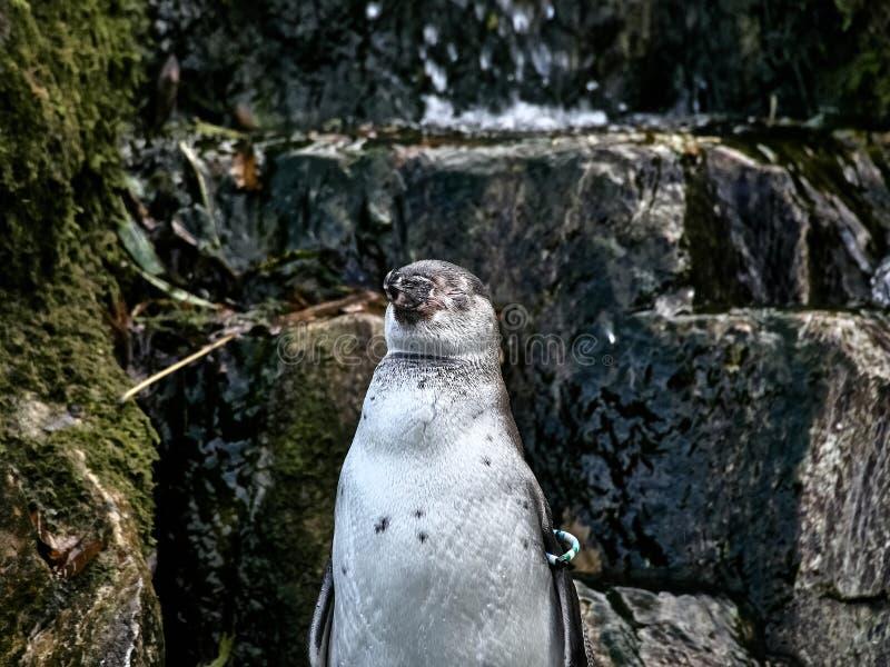 Strzelający pingwin zdjęcia stock