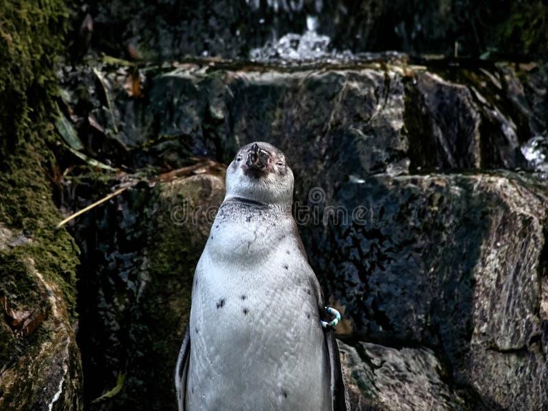 Strzelający pingwin fotografia royalty free