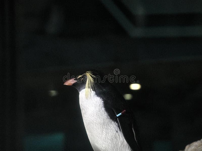 Strzelający pingwin fotografia stock