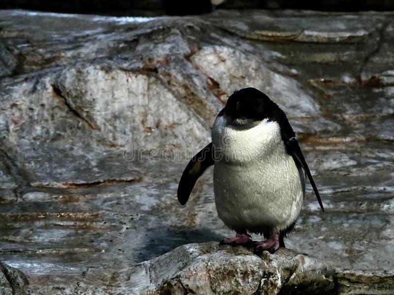 Strzelający pingwin obrazy royalty free