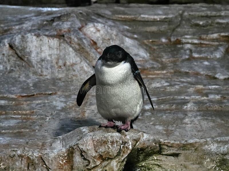 Strzelający pingwin zdjęcie royalty free