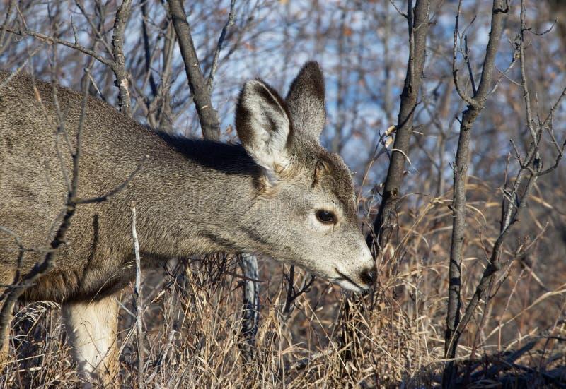 Strzelanina z jelenia zdjęcie royalty free