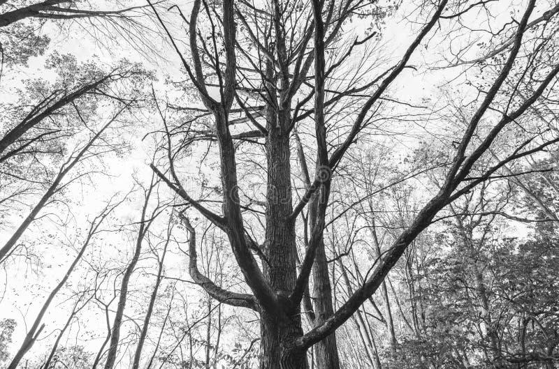 Strzeliste Lasowe gałąź w Czarny I Biały zdjęcie royalty free