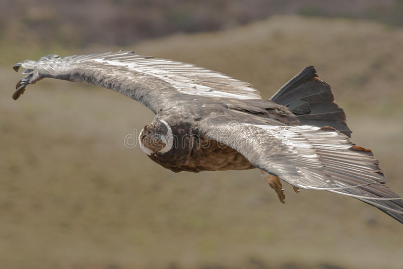 Strzelisty kondor zdjęcia royalty free