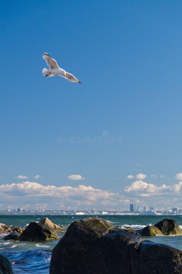 Strzelisty seagull nad morza bałtyckiego wybrzeżem blisko Tallinn miasta, Estonia obraz royalty free