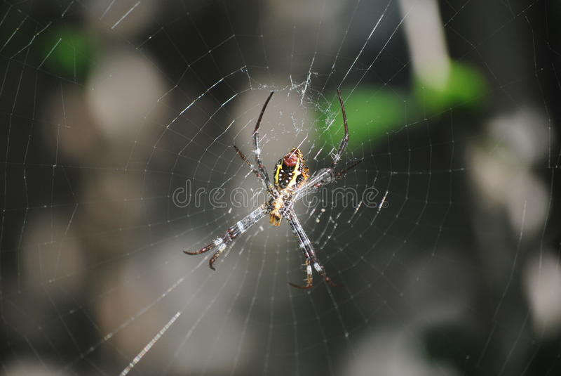 Sts Andrew arga spindel (Argiopekeyserlingien) arkivbild