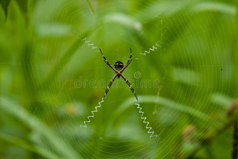 Sts Andrew arga spindel, Ecuador arkivfoton