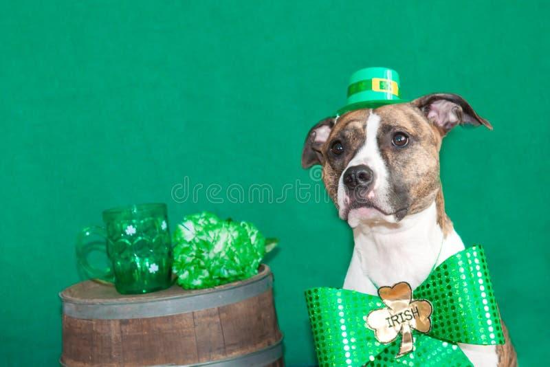 Sts Patrick daghund royaltyfri fotografi