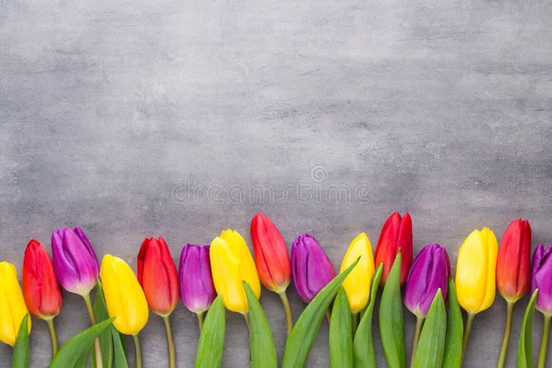 Stubarwna wiosna kwitnie, tulipan na szarym tle zdjęcie stock