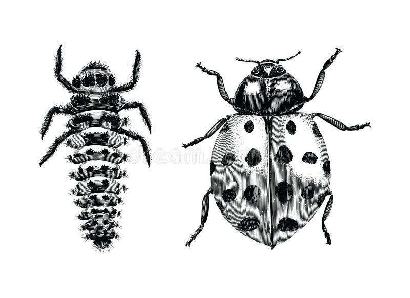 Stubarwnej Azjatyckiej damy ścigi, larwy i dorosłego damy ścigi ręka, ilustracja wektor