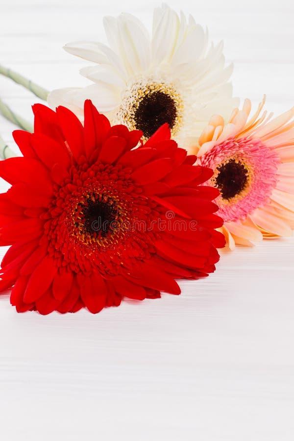 Stubarwni gerber stokrotki kwiaty, zakończenie w górę zdjęcia royalty free