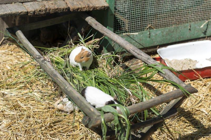 Stubarwni królik doświadczalny zdjęcia stock