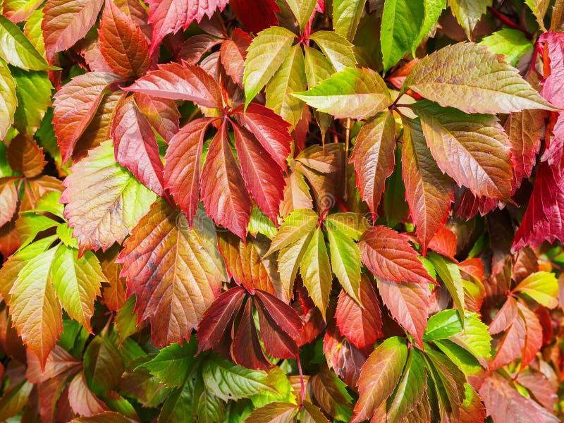 Stubarwni liście dekoracyjni winogrona w jesieni Naturalny tło obraz royalty free
