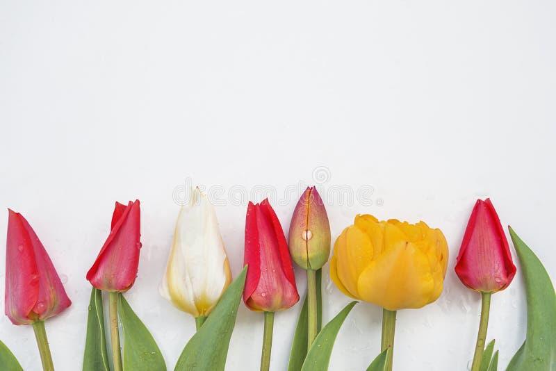 Stubarwni tulipany na whithe tle zdjęcie royalty free