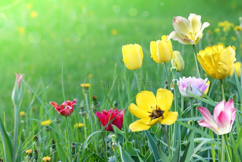 Stubarwni tulipany na zielonej łące obrazy stock