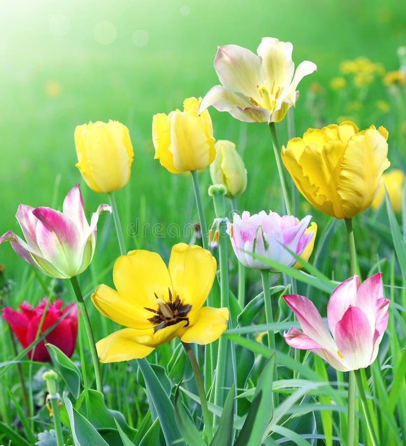 Stubarwni tulipany na zielonej łące obraz royalty free