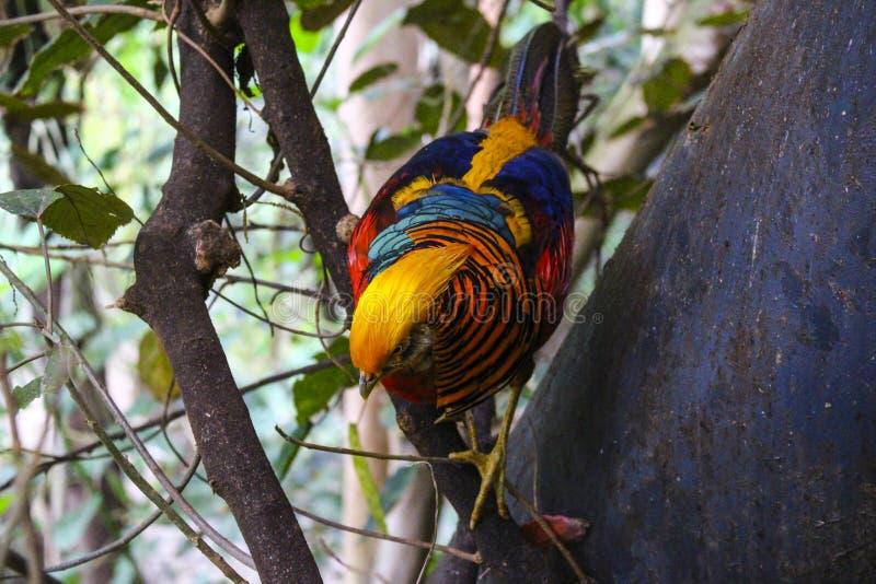 Stubarwny ptasi obsiadanie na gałęziastym Tenerife Popinjay natury przyrody zoo zoopark Egzotycznym Colourful Lasowym parku obraz royalty free