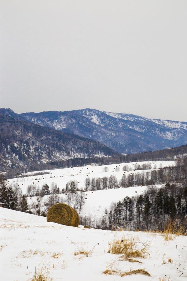 Stubbar av hö i fälten i snön mot bakgrunden av arkivfoto