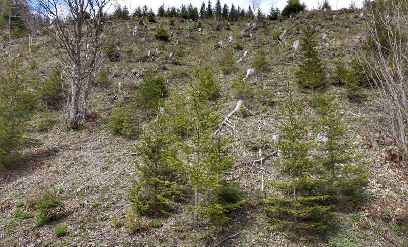 Stubbar av sågade träd på bergssidan i den Synevyr naturreserven i Carpathiansna arkivfoto