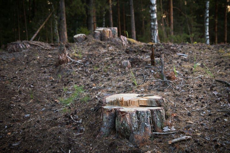 Stubbe i skogskogsavverkningen, skogförstörelse Ekologiproblem royaltyfria foton