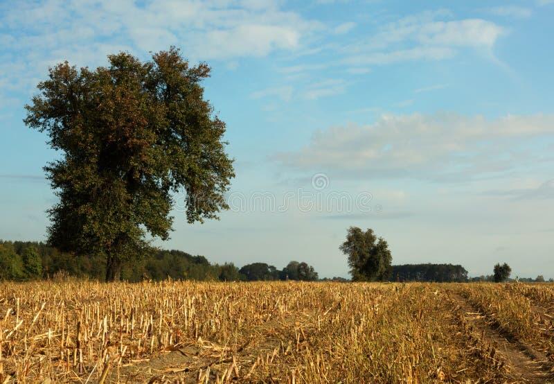 Stubble con un árbol solitario en otoño debajo del cielo azul imagenes de archivo