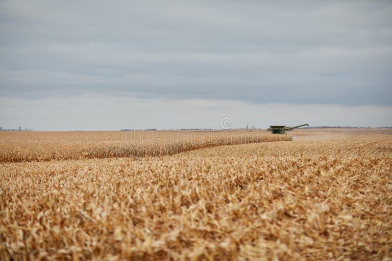 Stubble en un campo del maíz parcialmente cosechado imágenes de archivo libres de regalías
