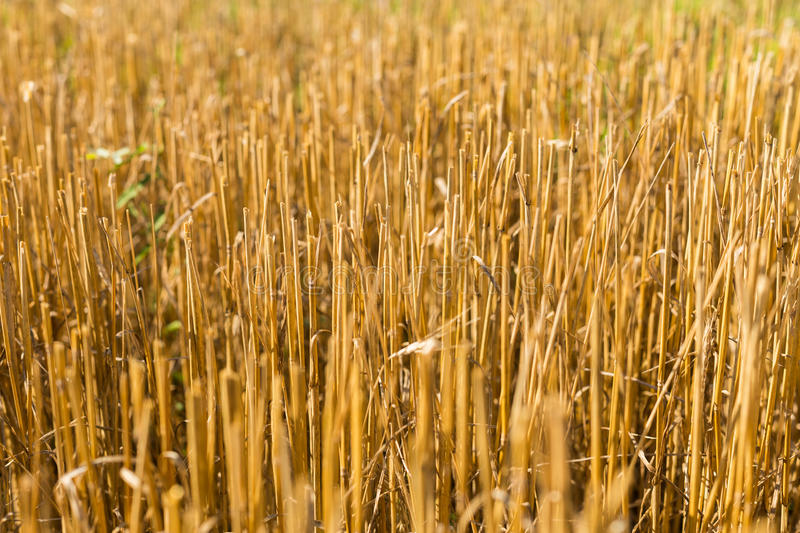 Stubble harvested wheat field. Close stock image