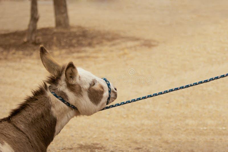 Stubborn Donkey Stock Photography
