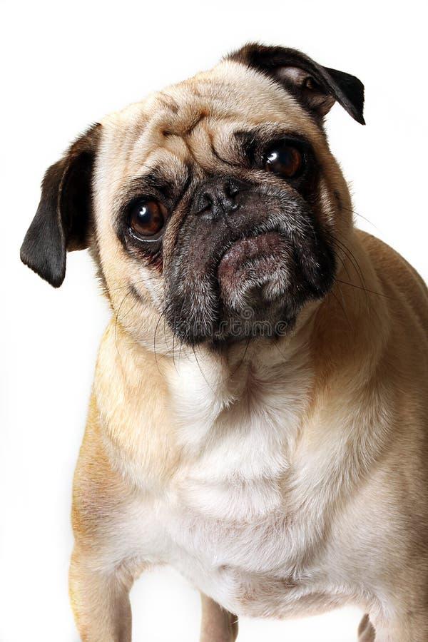 Stubborn Pug. Stubborn looking Pug staring at the camera stock photo