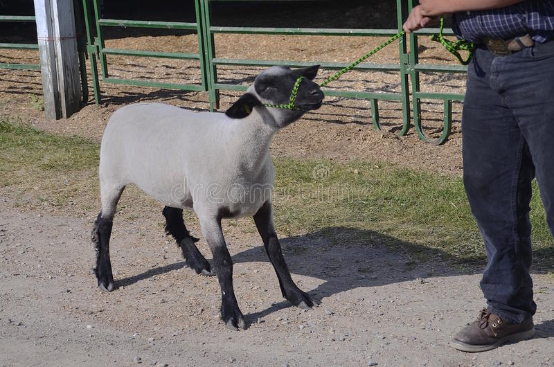Stubborn sheep refuses to be led. A shorn sheep being led by a halter digs it's feet in a stubborn refusal to walk stock photography
