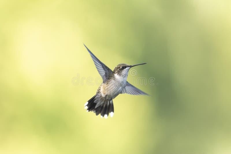 Stubby Looking Hummingbird con la diffusione della coda fotografia stock