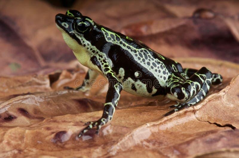 Stubfood toad royalty free stock image