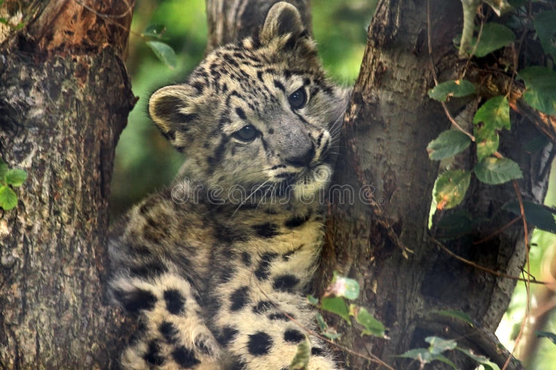Download Stuck stock image. Image of adorable, leopard, tree, endangered - 10644337