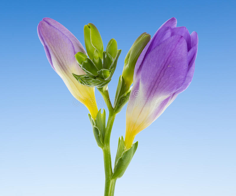 Download Stud Of Blue Vanda Isolated Against A Blue Sky Stock Image - Image: 29129893