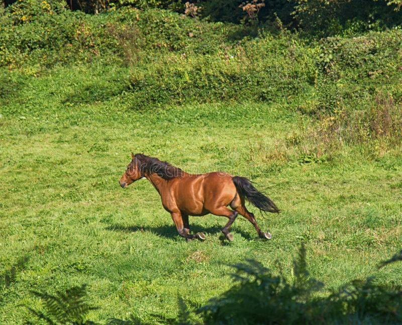 stud horse stock images