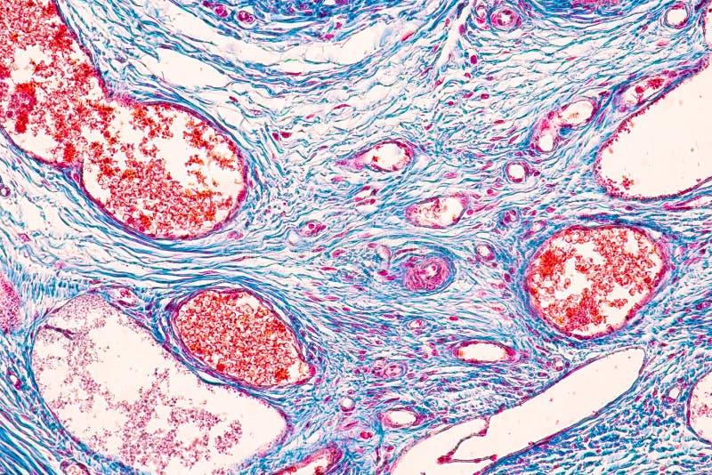 Studencka uczenie anatomia i fizjologia jajnik pod mikroskopijnym obrazy stock