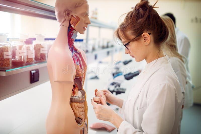 Student av medicin som undersöker den anatomiska modellen i labb royaltyfri fotografi