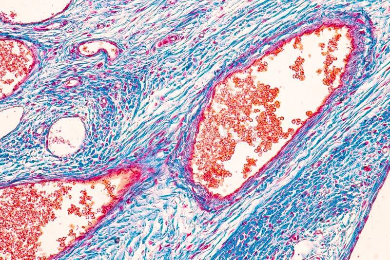 Student, der Anatomie und Physiologie des Eierstocks unter dem mikroskopischen lernt stockfotografie