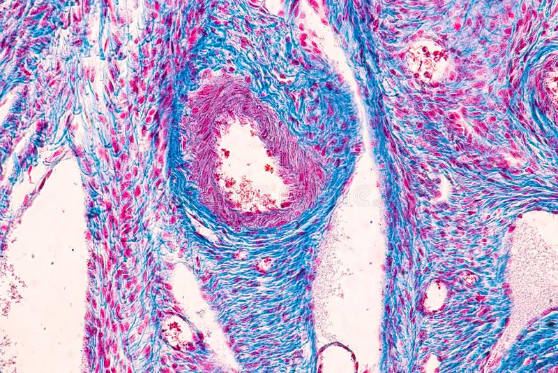 Student, der Anatomie und Physiologie des Eierstocks unter dem mikroskopischen lernt stockfotos