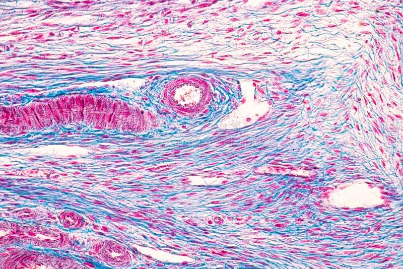 Student som l?r anatomi och livsfunktioner av ?ggstocken under det mikroskopiskt fotografering för bildbyråer