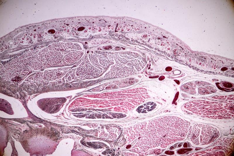 Studiehistologi av mänskligt, silkespapperben under det mikroskopiskt arkivbild