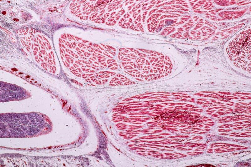 Studiehistologi av mänskligt, silkespapperben under det mikroskopiskt arkivfoton