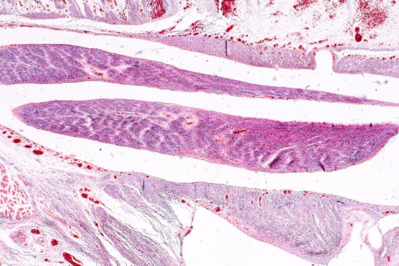 Studiehistologi av mänskligt, silkespapperben under det mikroskopiskt fotografering för bildbyråer