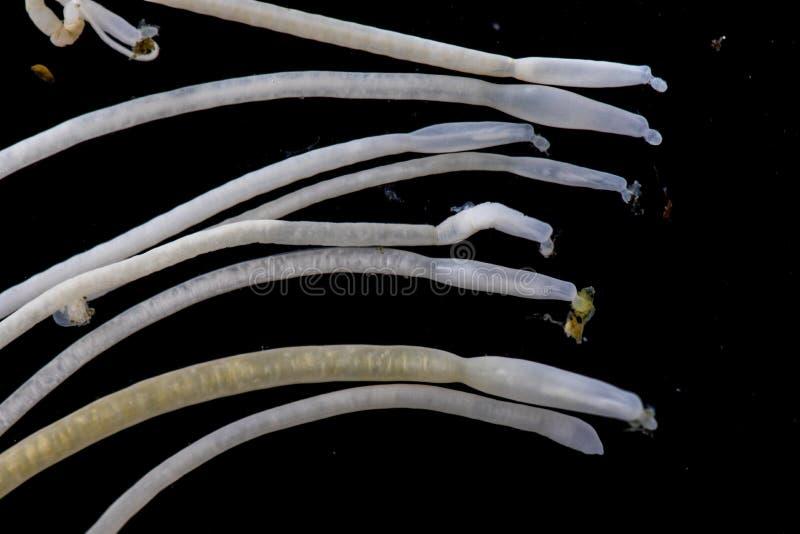 Studien av Acanthocephala är en provins av parasitiskt avmaskar bekant som acanthocephalans som taggig-är hövdade avmaskar arkivfoton