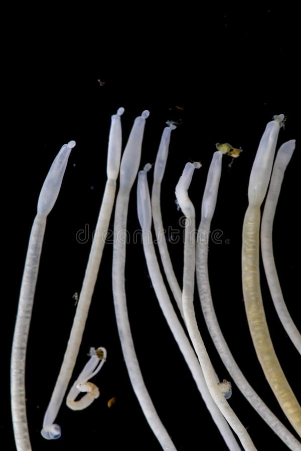 Studien av Acanthocephala är en provins av parasitiskt avmaskar bekant som acanthocephalans som taggig-är hövdade avmaskar royaltyfria foton