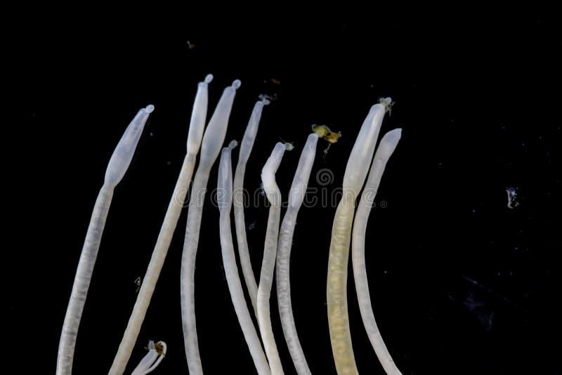 Studien av Acanthocephala är en provins av parasitiskt avmaskar bekant som acanthocephalans som taggig-är hövdade avmaskar royaltyfria bilder
