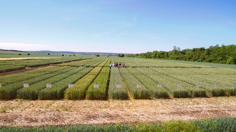 Studies of rye and wheat varieties. Flying over the field of plo royalty free stock photography