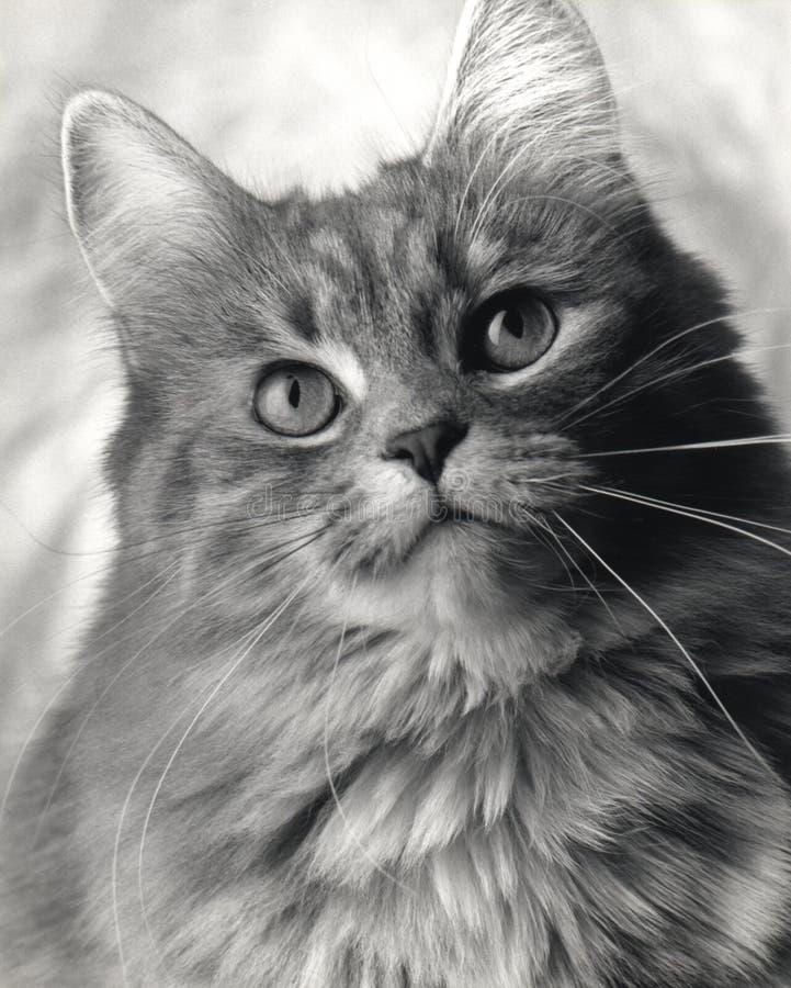 Studio Cat royalty free stock images
