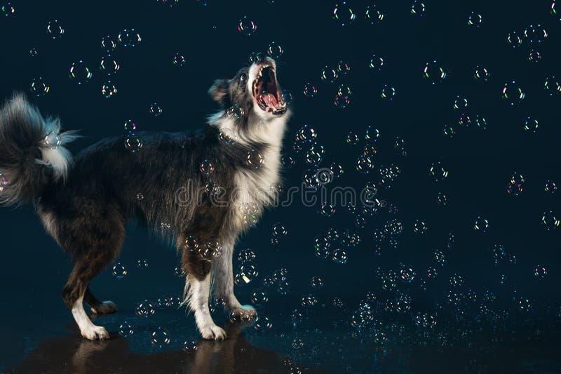 Studio dell'acqua, border collie sui precedenti scuri con le bolle fotografie stock