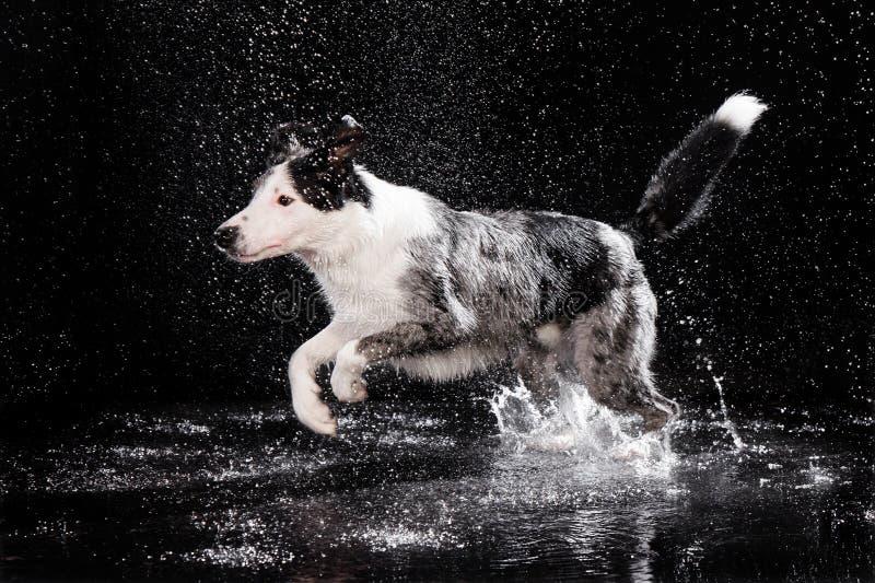 Studio dell'acqua, border collie sui precedenti scuri con pioggia fotografia stock